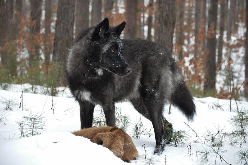 американская тундровая овчарка на охоте