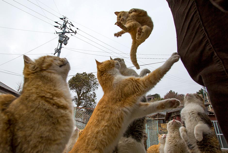 кошки с отстрова Аошима