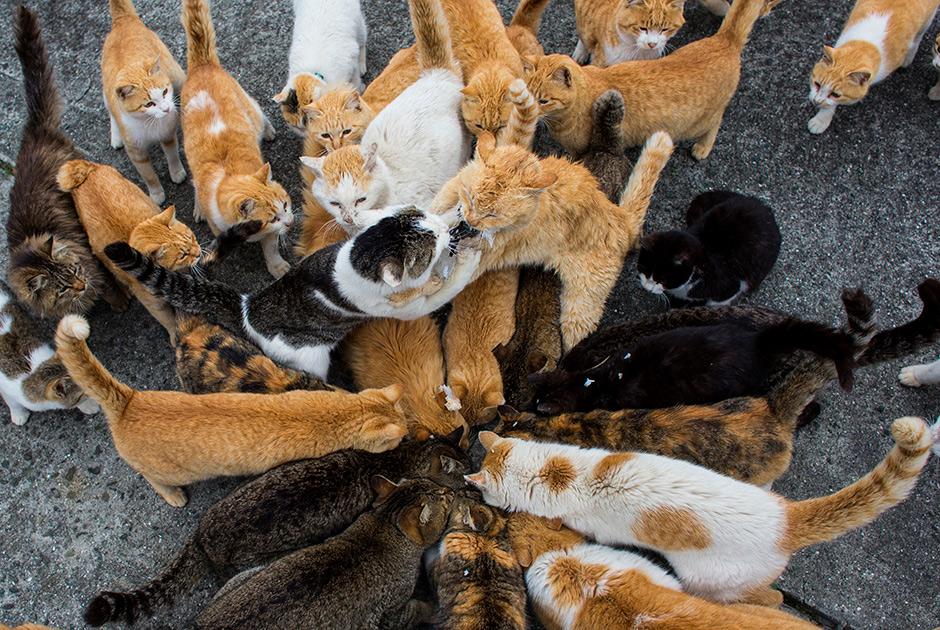 аосима остров кошек