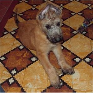 щенок лакенуа