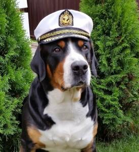 большой швейцарский зенненхунд -капитан