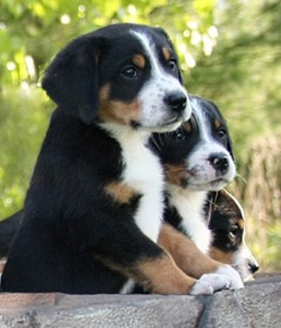большой швейцарец щенки