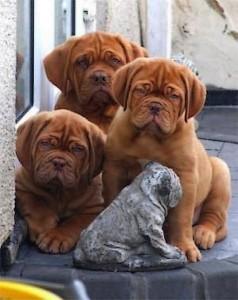 красивые щенки бордоского дога