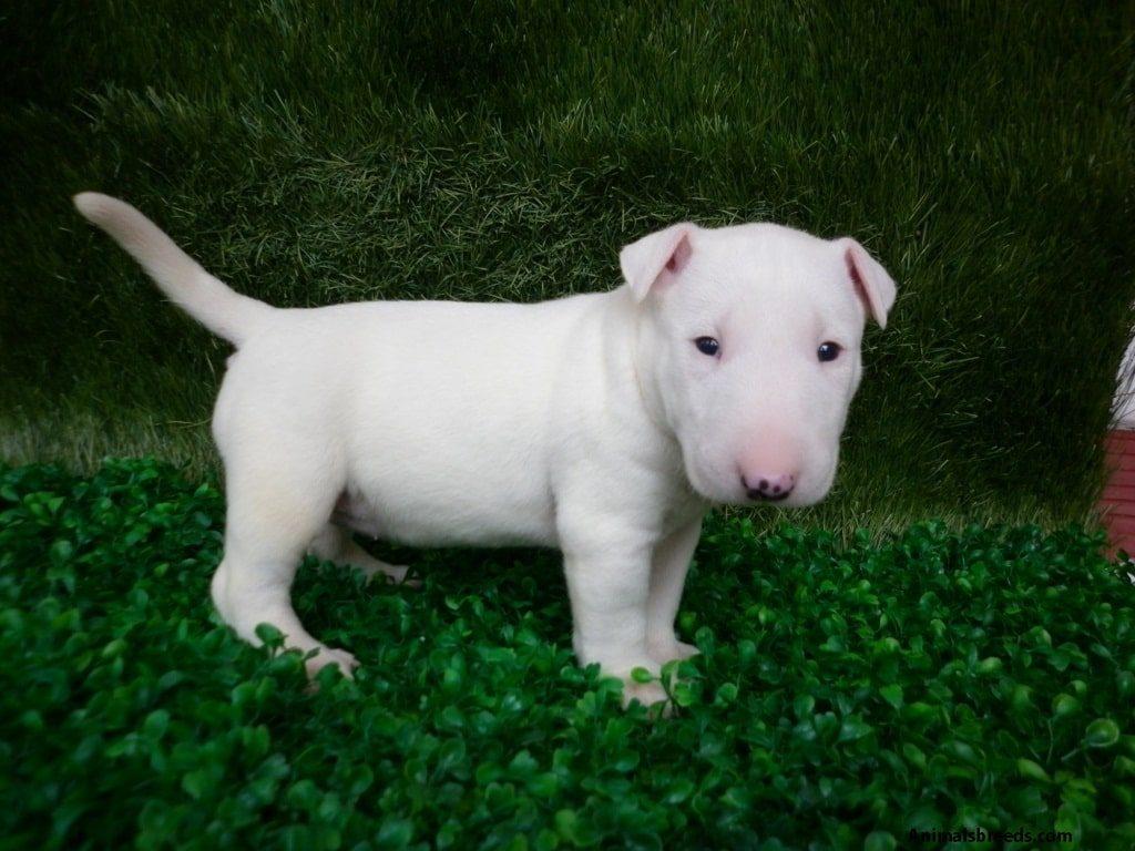 белый щенок бультерьера (1 месяц)