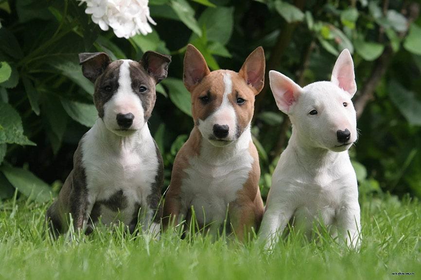 три разноцветных щенка бультерьера