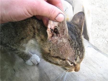 ушной клещ у кошки