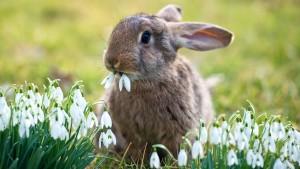 кролик ест подснежник