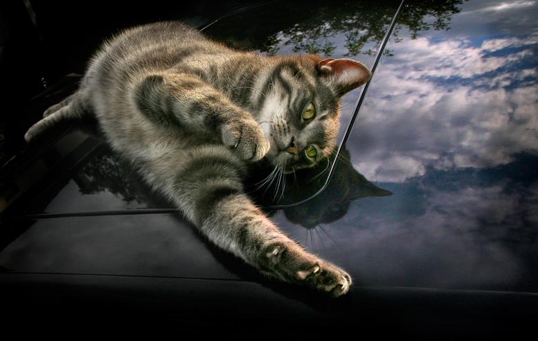 кошка на капоте машины