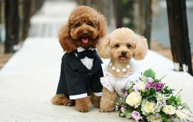 собачья свадьба, пудели-молодожены