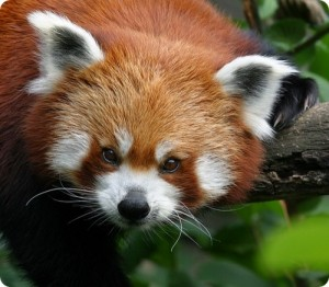 рыжая панда