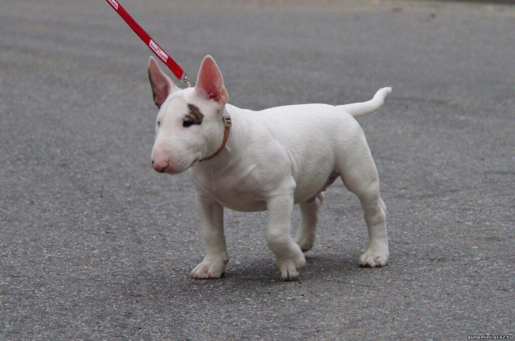 Миниатюрный бультерьер (Bull Terrier mini)