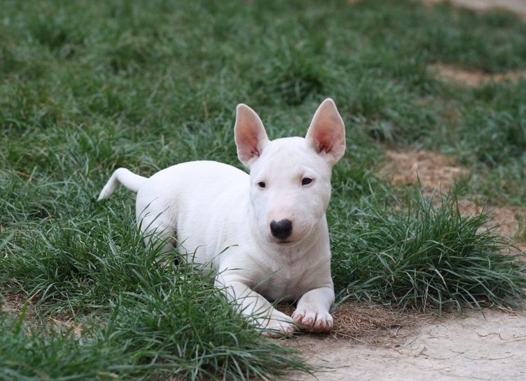 миниатюрный белый бультерьер на траве