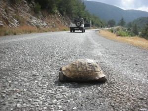 черепашка на дороге