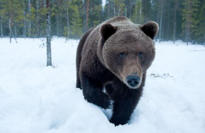 за что сбили медведя