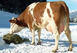 корова ест елку