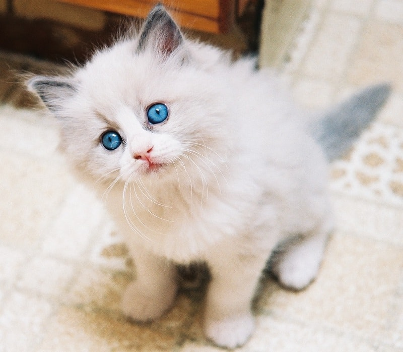котенок породы рэгдолл