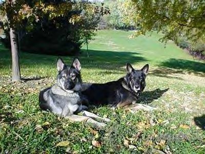 две тундровые овчарки