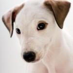 щенок грейхаунда - мордочка