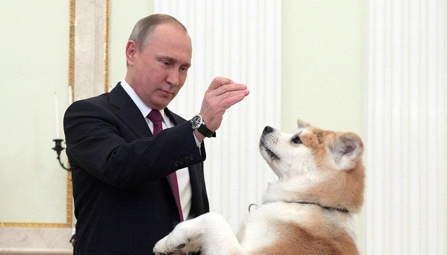 Юмэ - акита-ину Путина