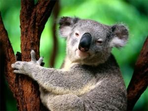 коала обнимает дерево