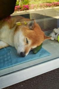 сузуки собака-продавец отдыхает