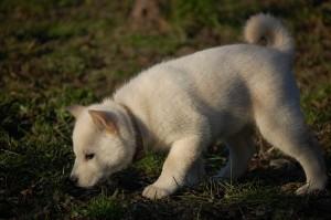щенок хоккайдо
