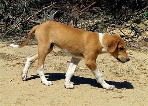 щенок азавак