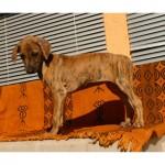 тигровый щенок азавака