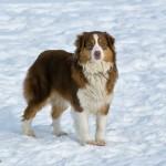 австралийская овчарка на снегу