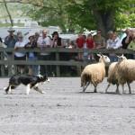 австралийская овчарка в работе