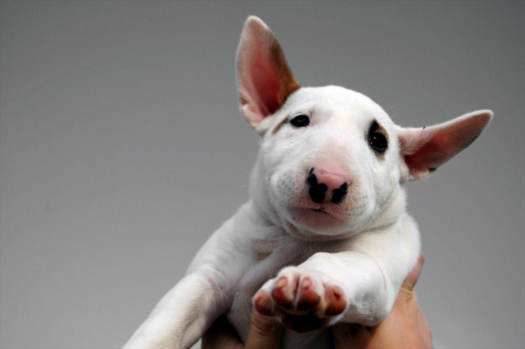 белый маленький бультерьерчик