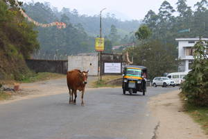 корова на дороге