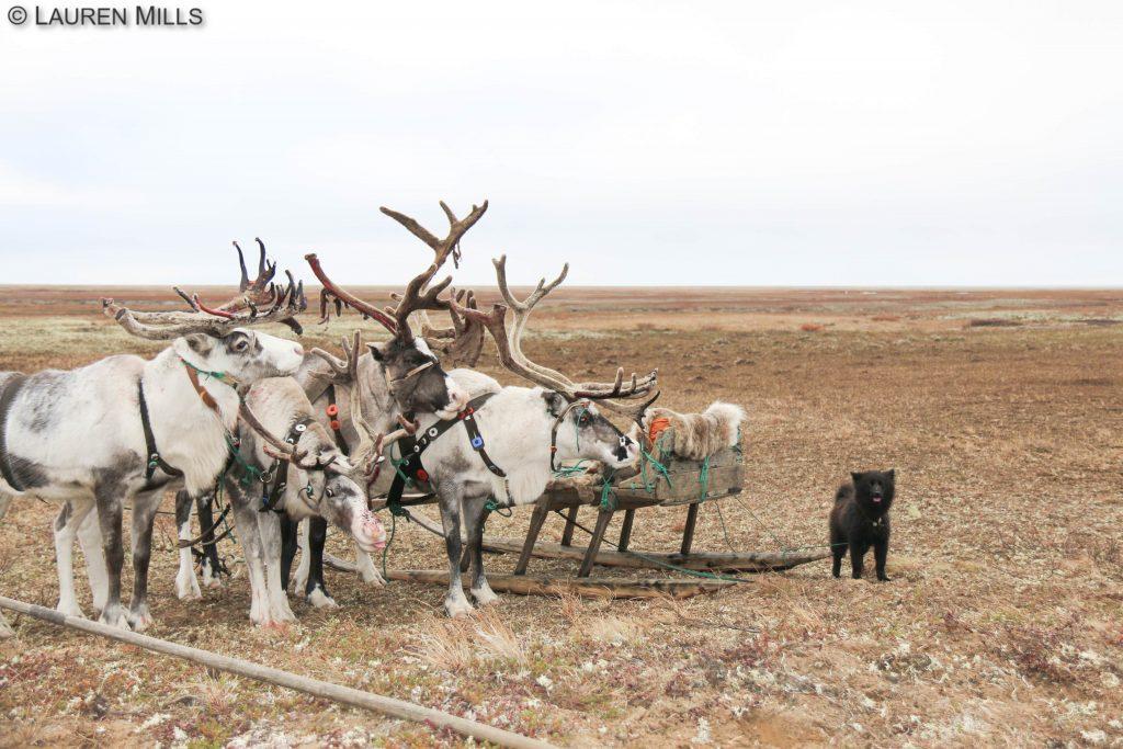 ненецкая лайка - выставка в нарьян маре 5