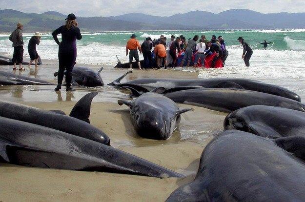 дельфины в новой зеландии выбрасываются на берег