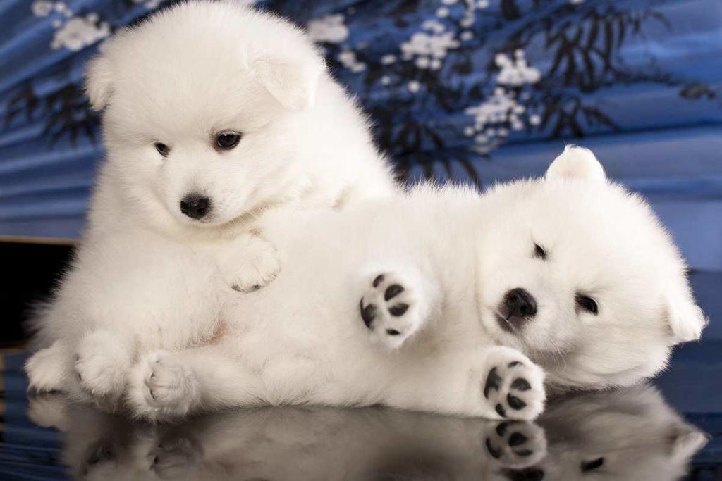 2 щенка японского шпица