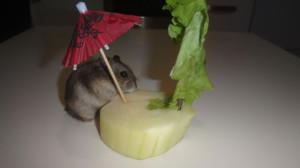Джунгарик кушает кабачок