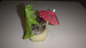 Джунгарский хомяк ест лист салата