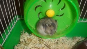 Фото спящего джунгарика Буси