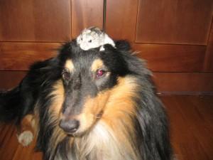 Джунгарский хомячок и собака