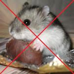 Хомякам нельзя шоколад, конфеты и другие сладости