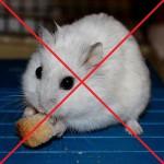 не следует кормить хомяка хлебом