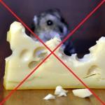 не следует кормить хомяка сыром